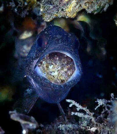 Male Cardinalfish carrying his young.