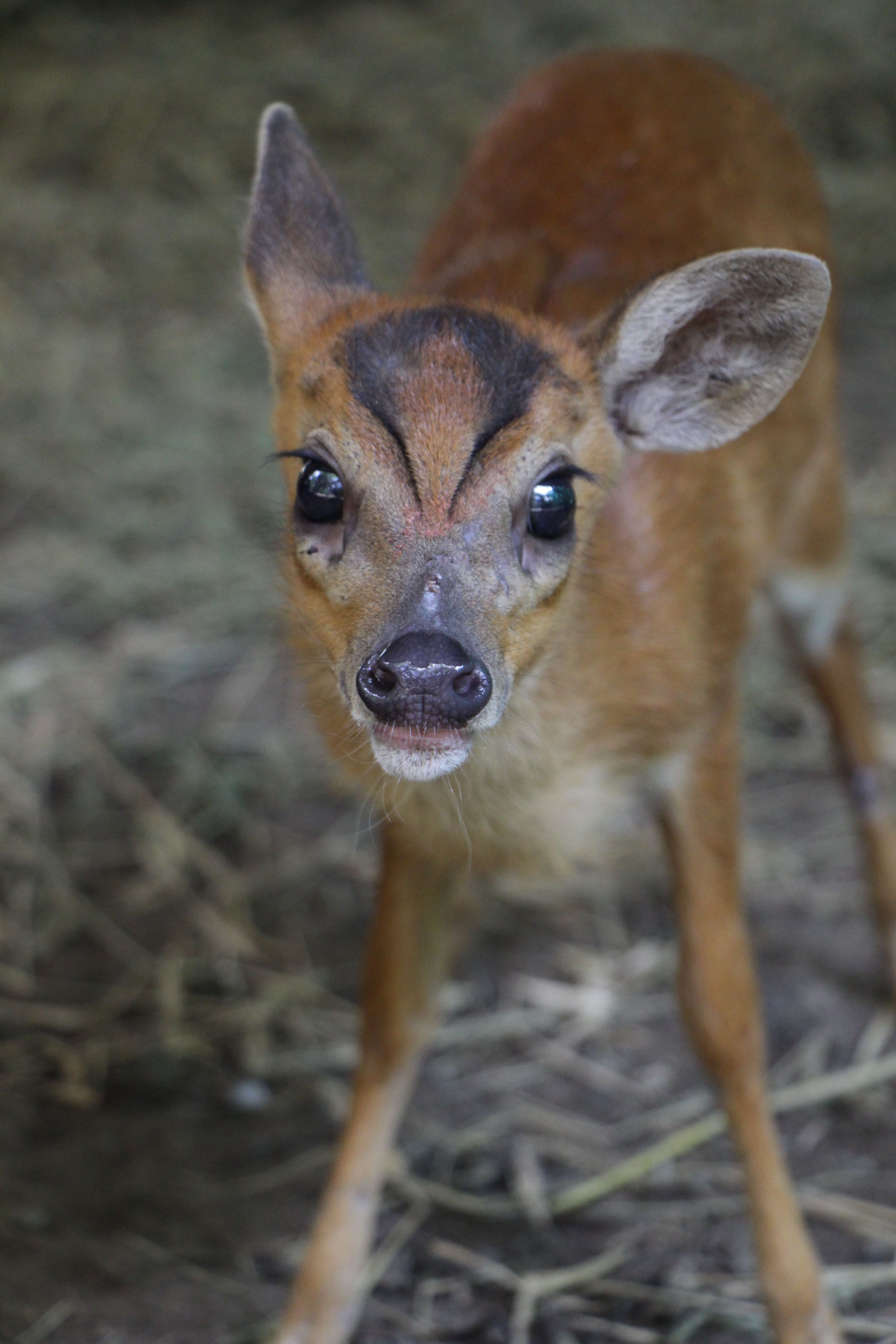 Baby muntjac deer babyanimal deer cute phnomtamao