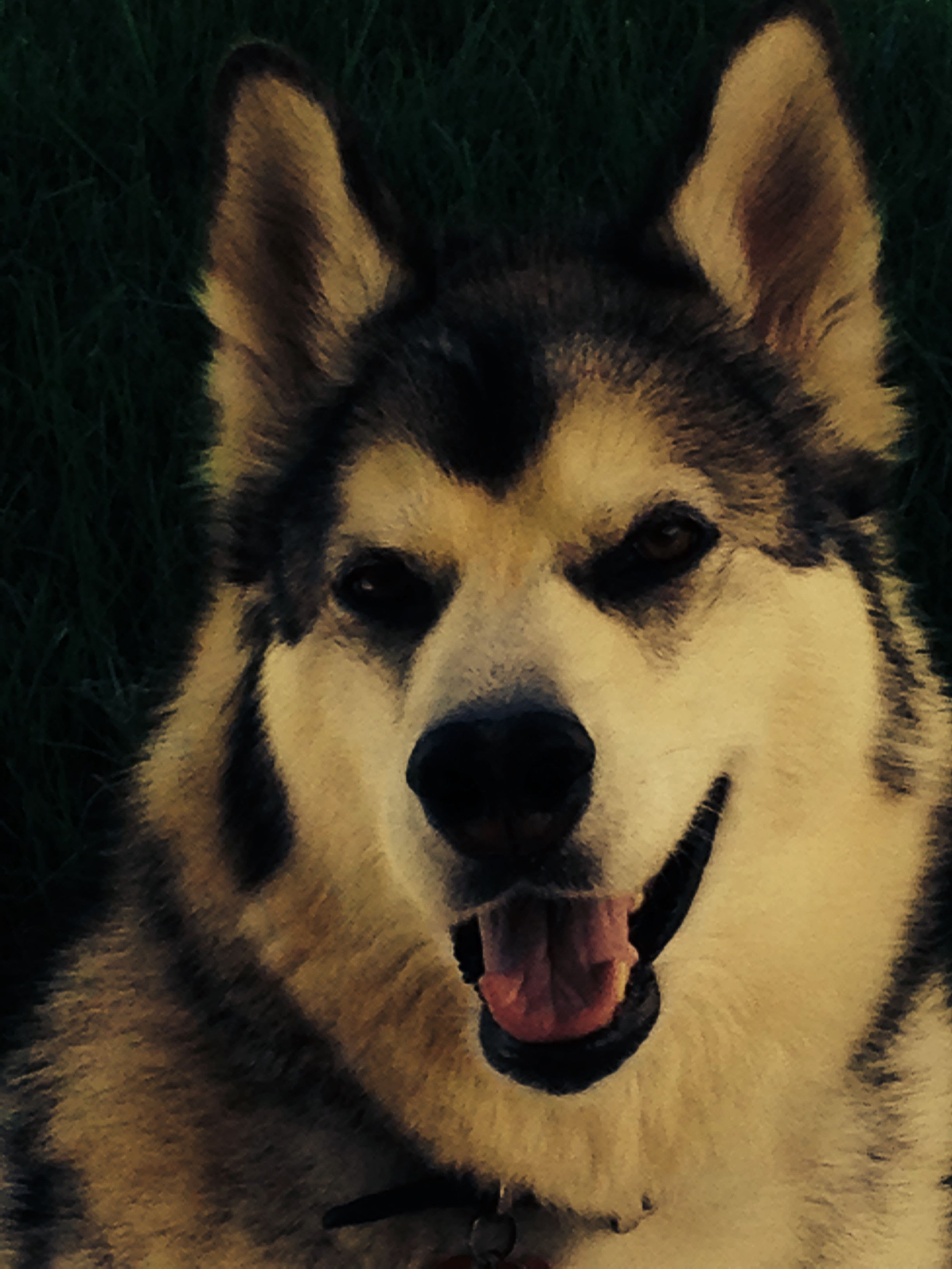 My rescued malamute