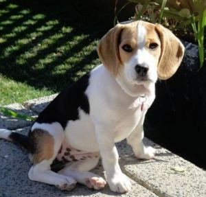 Kenna, a Beagle living in Westhills, is always out exploring the neighbourhood.