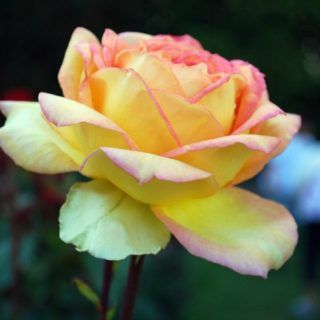 10 Low Maintenance Perennials Western Garden Centers Perennials Growing Roses Amazing Flowers