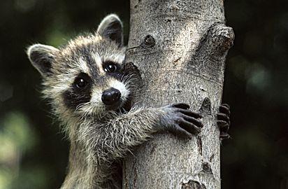 Baby Raccoon Tattoo Ideen