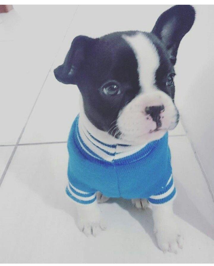 Bulldoguinho Billy está crescendo e fazendo sucesso nas redes sociais.