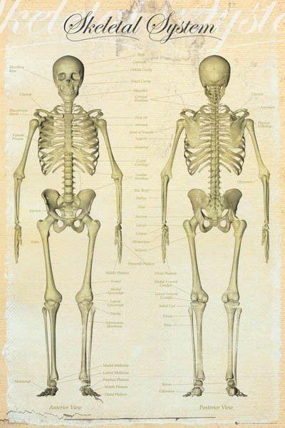 Human Skeleton Bones of the Body Anatomy Educational Poster 24x36 – BananaRoad