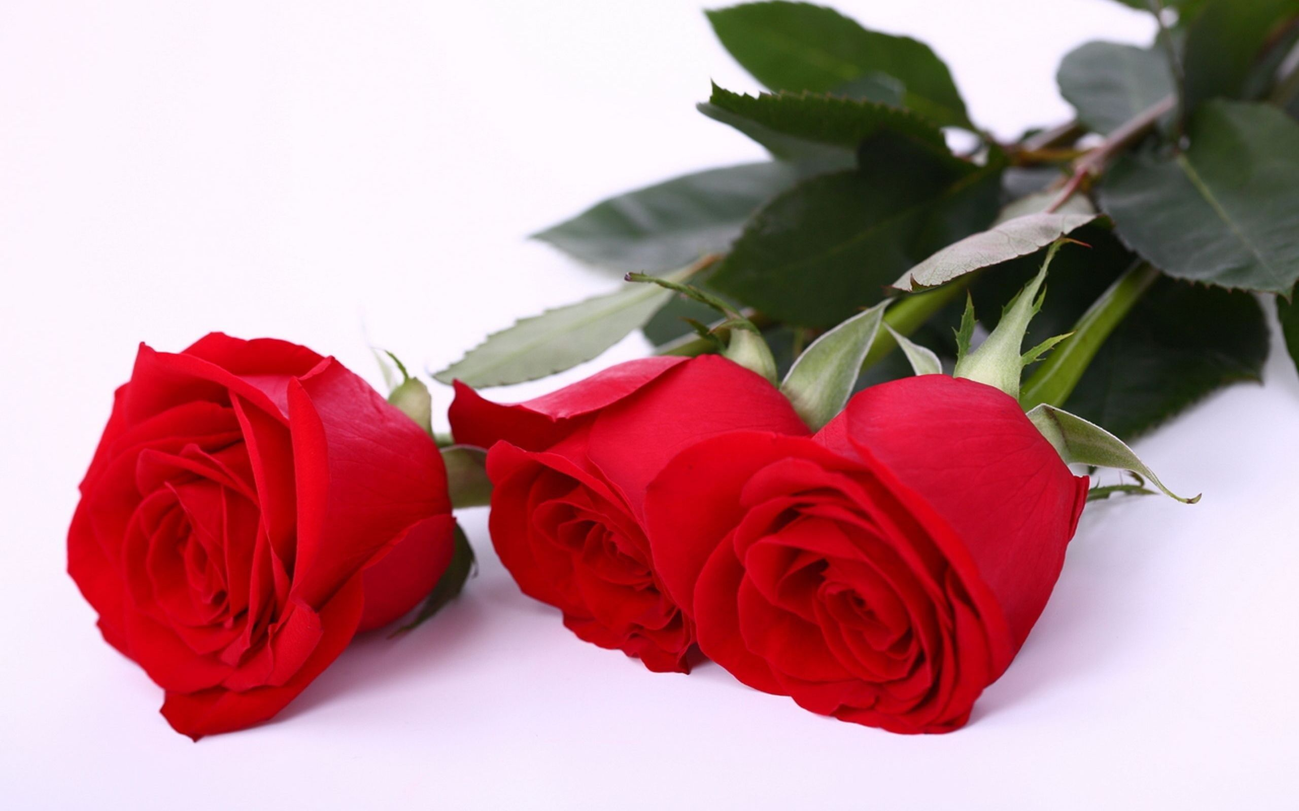 Beautiful Red Rose Hd Wallpapers For More Please Visit Etcfn