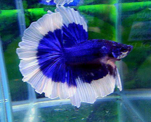 fwbettashm1337375675 - OHM Blue BF male | Betta Beauties ...