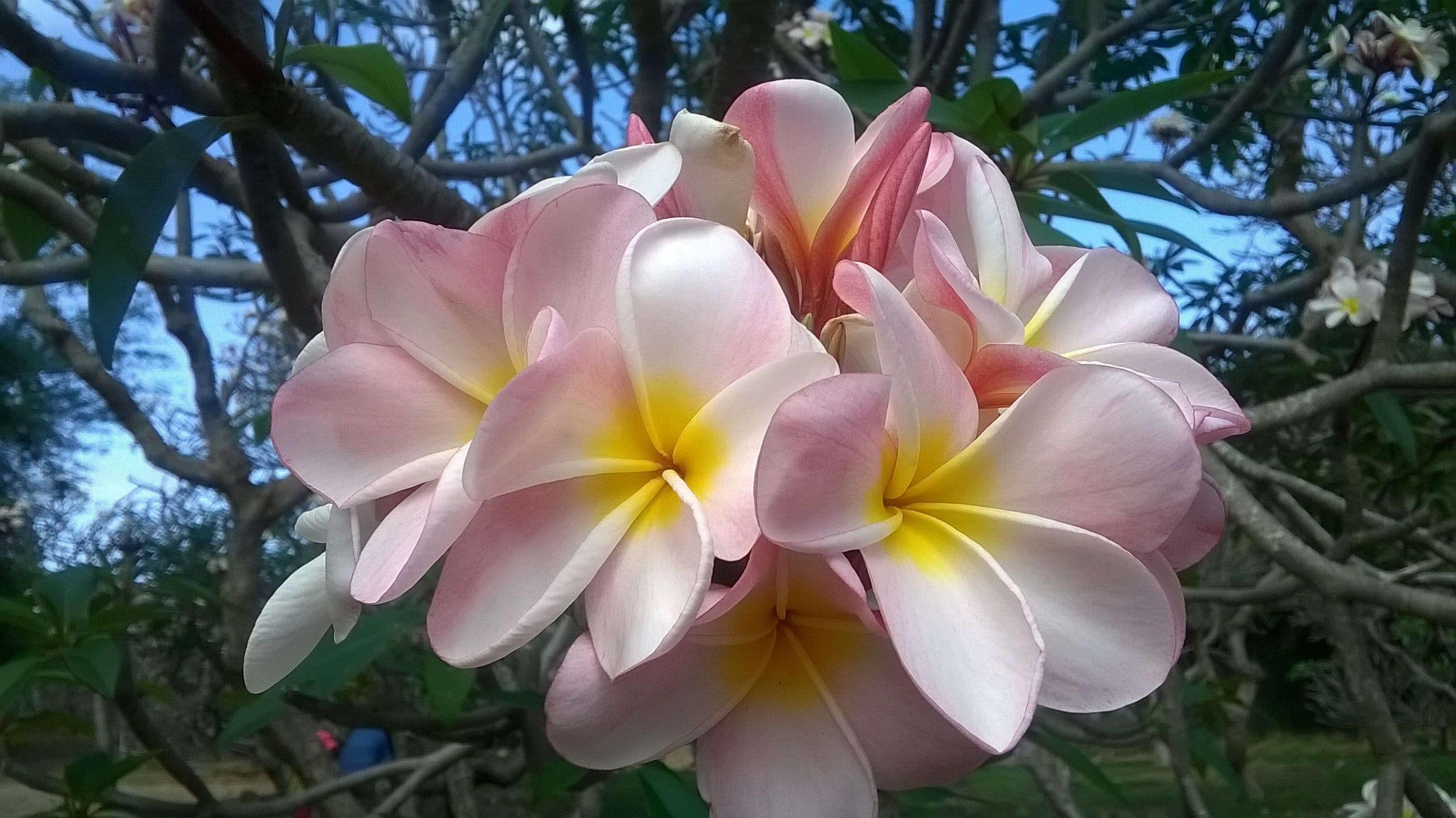 Beauty plumeria flower straight from the islands of Hawaii