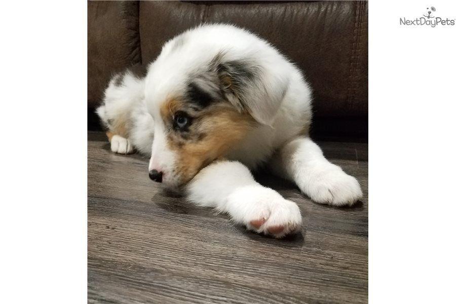 Australian Shepherd Puppy For Sale Near Southeast Missouri