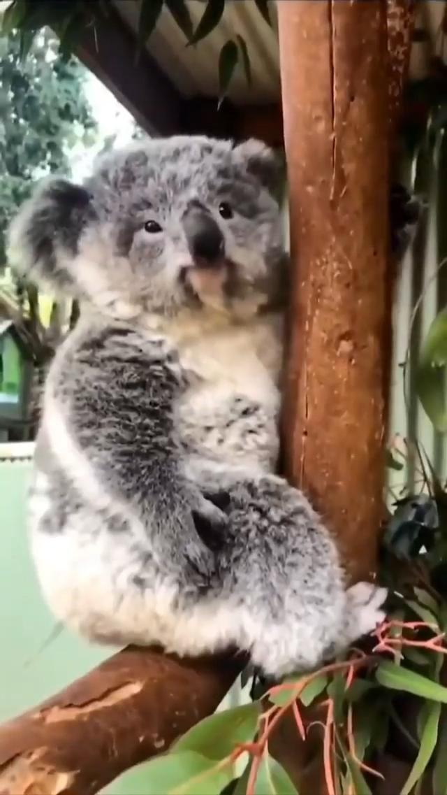 Cute koala winking!
