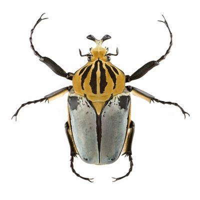 Goliathus cacicus black frame