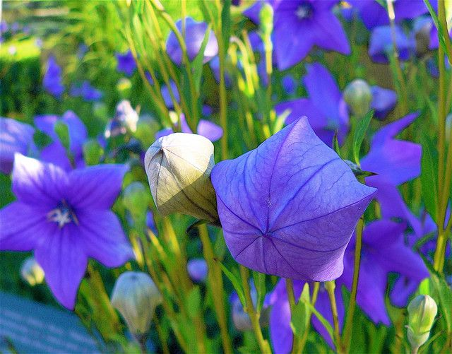 Open And Closed Flowers Perennials Garden Types Balloon Flowers