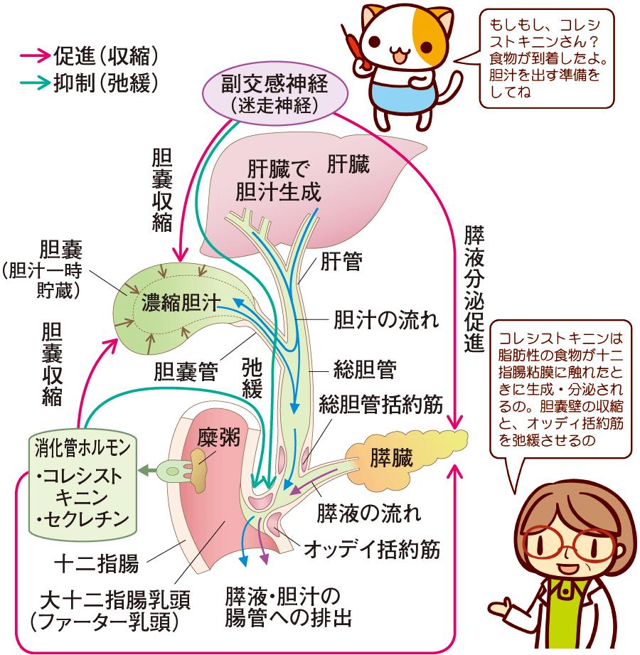 食道・胃・小腸・胆嚢・膵臓の仕組み 解剖生理をおもしろく ...