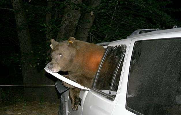 Bears In Cars Yosemite National Park Bear Exits A Vehicle In Yosemitevalley Camping In Ohio Yosemite Camping Camping In Pennsylvania