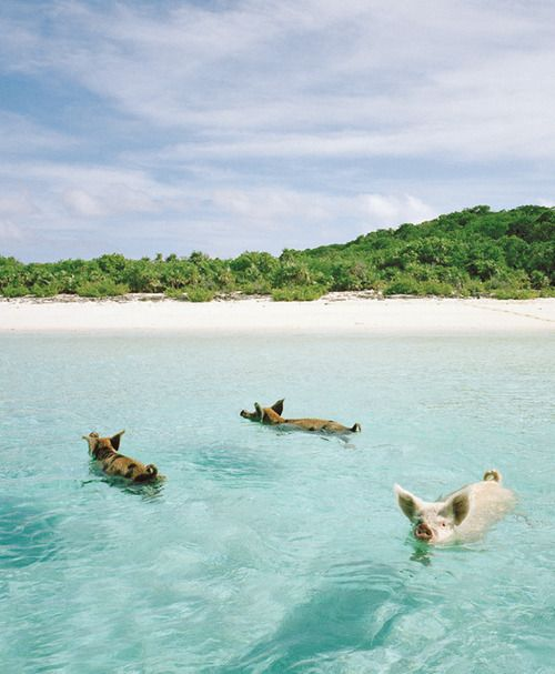 Haha Swim With The Pigs On Pig Island In Bahamas