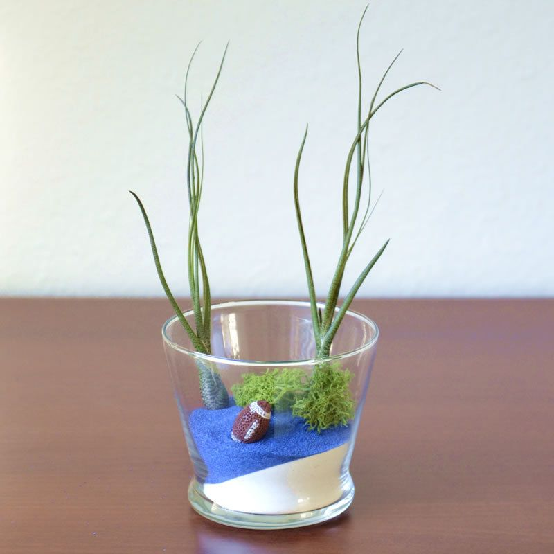Football fan gift idea. Customize by choosing the colored sand of his/her favorite football team.  Air Plant Worlds - Football Fan Terrarium Kit, $25.00 (http://www.airplantworlds.com/football-fan-terrarium-kit/)