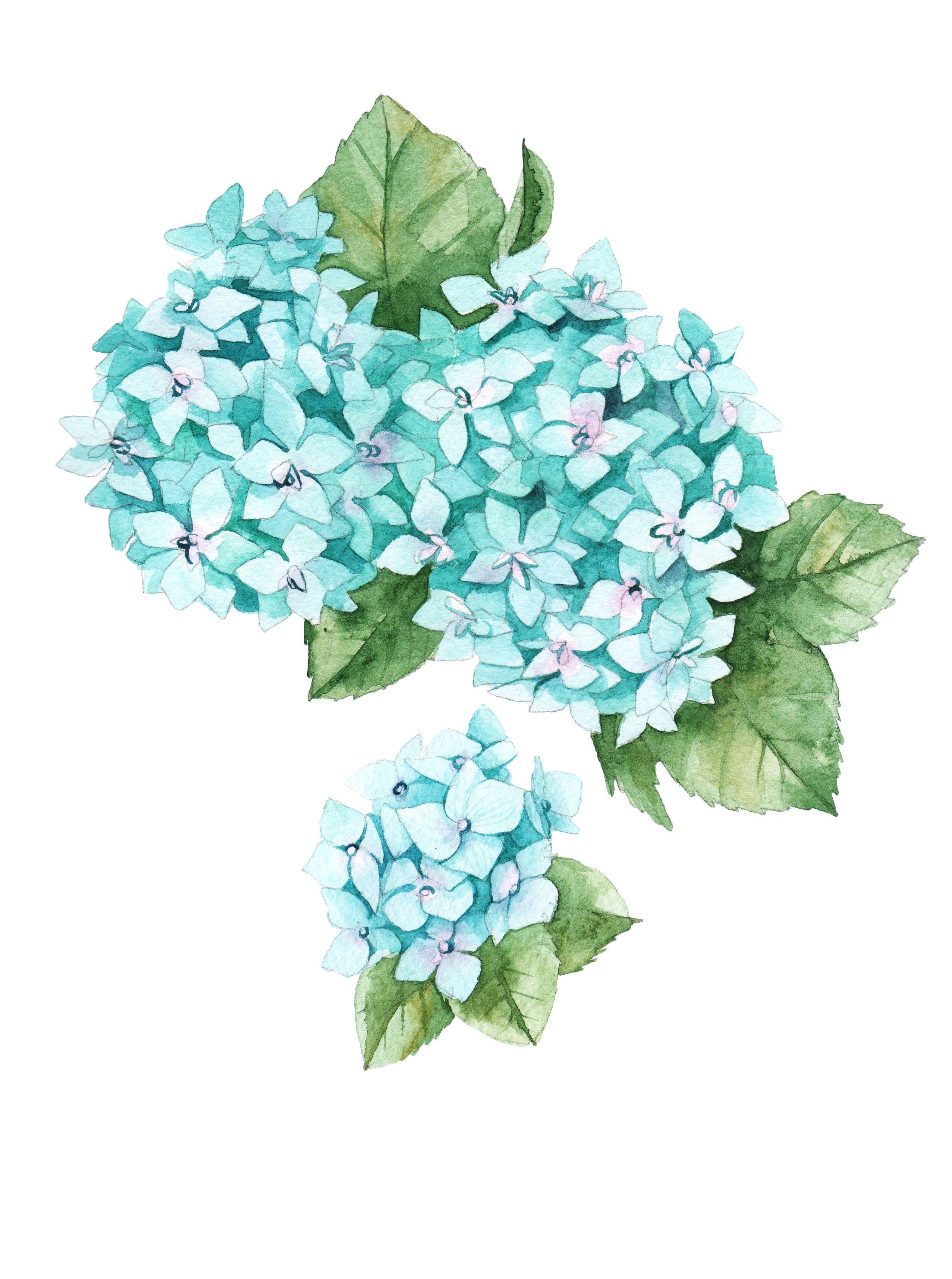 Watercolor Hydrangea Botanical Illustration