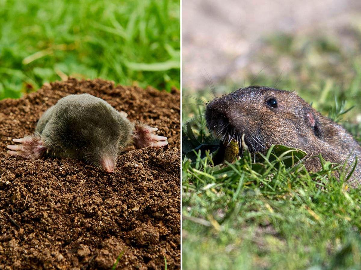 Maulwurf Oder Wuhlmaus So Erkennen Sie Den Unterschied In 2020 Mit Bildern Wuhlmaus Vertreiben Pflanzenfresser Schermaus
