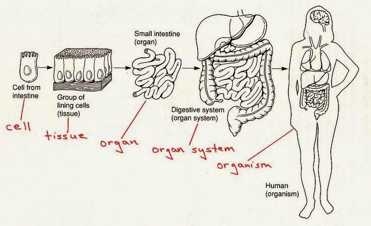 Cells Tissue Organ Organ System Organism 5th Science Body