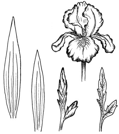 Gladiool metbladenknop downloads and sketches pinterest fleurs dessin et coloriage - Coloriage fleur iris ...
