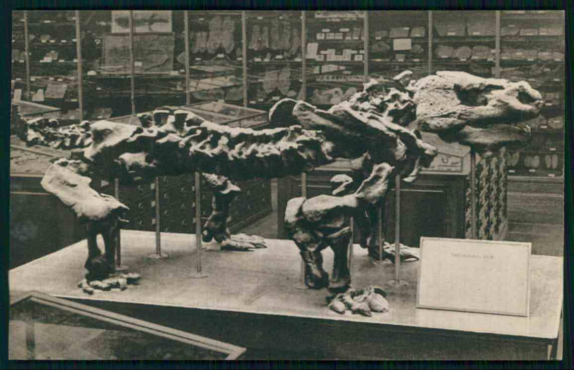 Fossil dinosaur Pareiasaurus Baini anapsid reptile original old c1920s