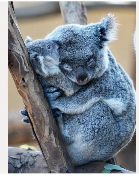 Koalas, best cuddlers ever