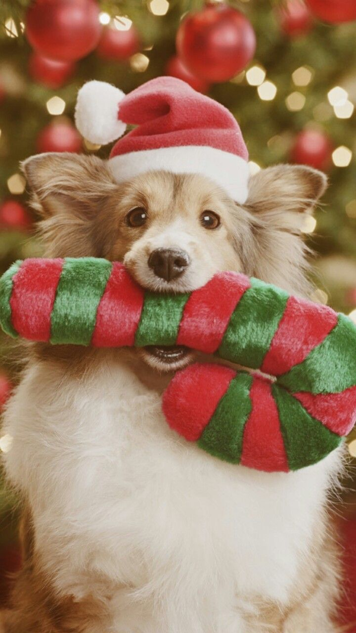 Pictur Of Dogs At Christmas To Share On Fb