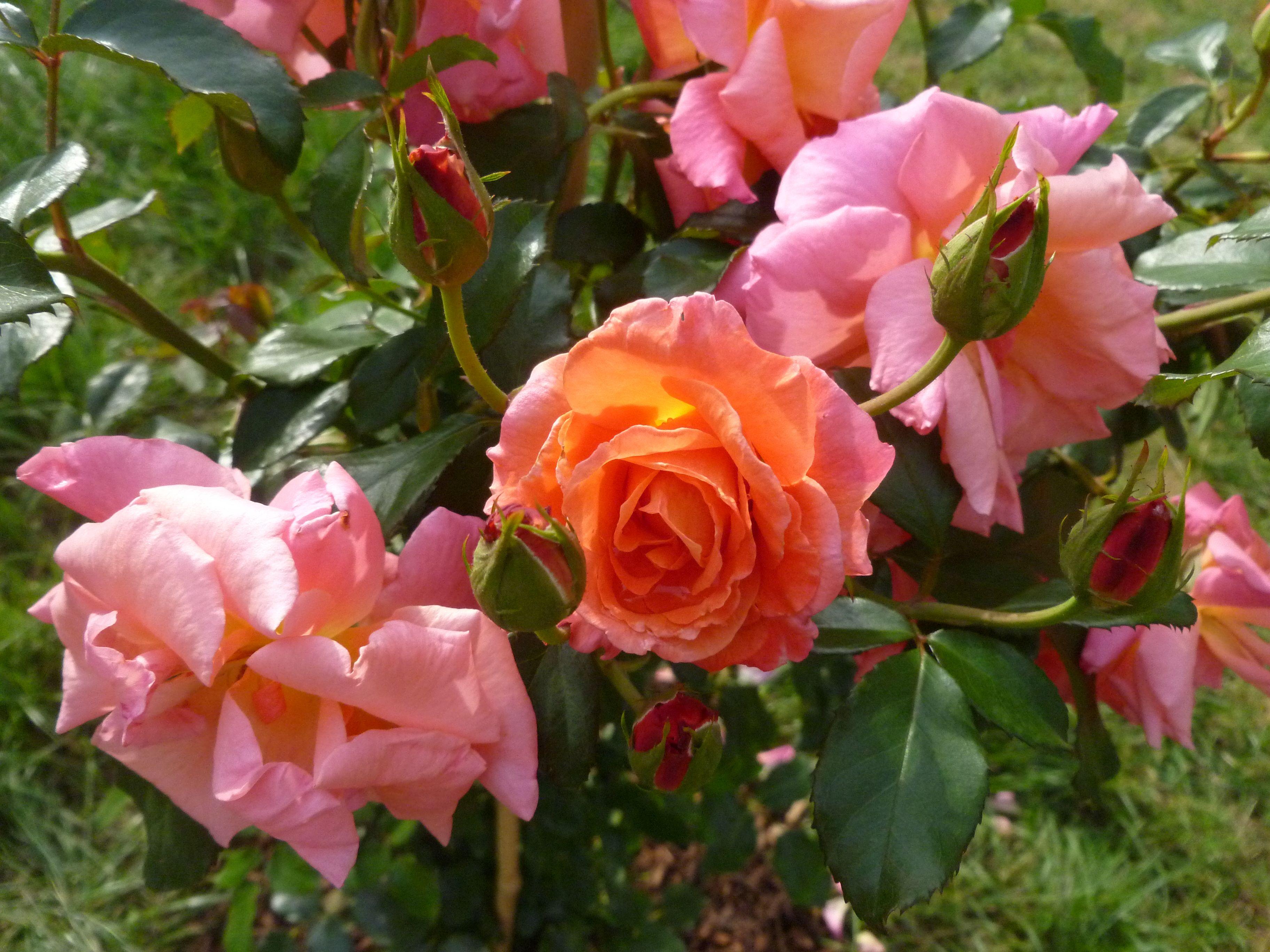 mein sch ner garten from my own garden rosen roses pinterest garten and gardens. Black Bedroom Furniture Sets. Home Design Ideas