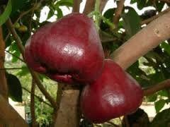 Hasil Gambar Untuk Jambu King Rose Apple Sayuran