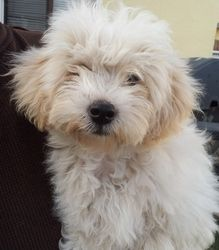 Adopt Charlie On Petfinder Poodle Mix Dogs Fluffy Puppies Homeless Pets
