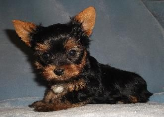 Terrys Yorkies Small Yorkie Puppy Ready To Go To His New Home We Are Located In Missouri 3145507840 Yorkie Puppies Yorkie Puppy