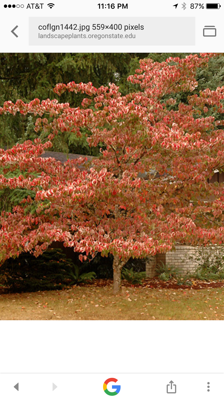 Cornus Florida Dogwood Tree Golden Nugget Fall Color Yes I Know Its Beautiful Dogwood Trees Plants Gardening Tips