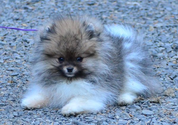 Beaver Creek Pomeranians Oregon Available Pomeranian