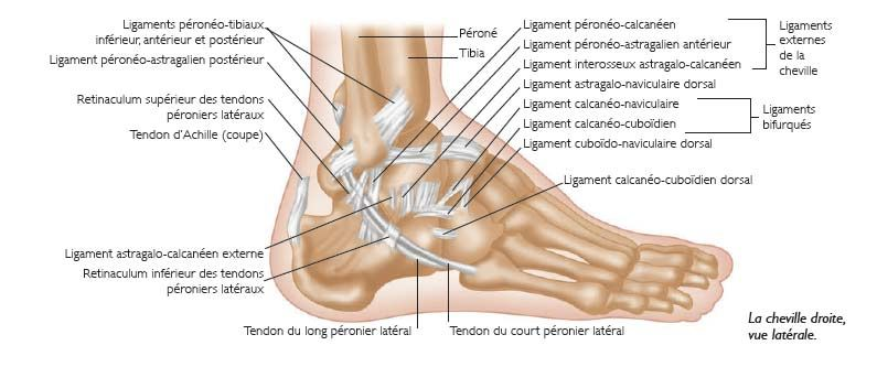 Anatomie et physiologie l articulation tibio tarsienne ou for Douleur interieur du pied