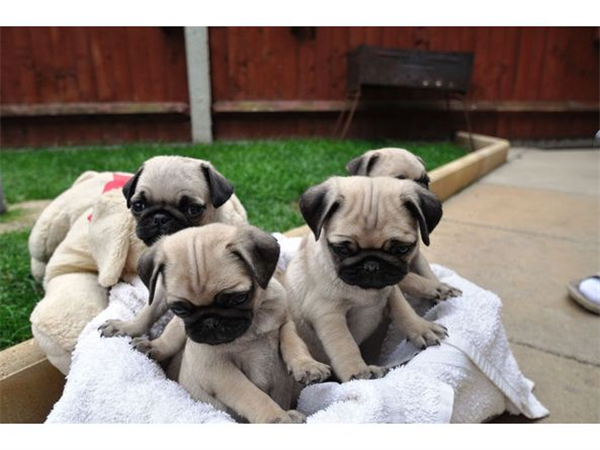 Pug+Information+and+Facts Four Pug Puppies Free For