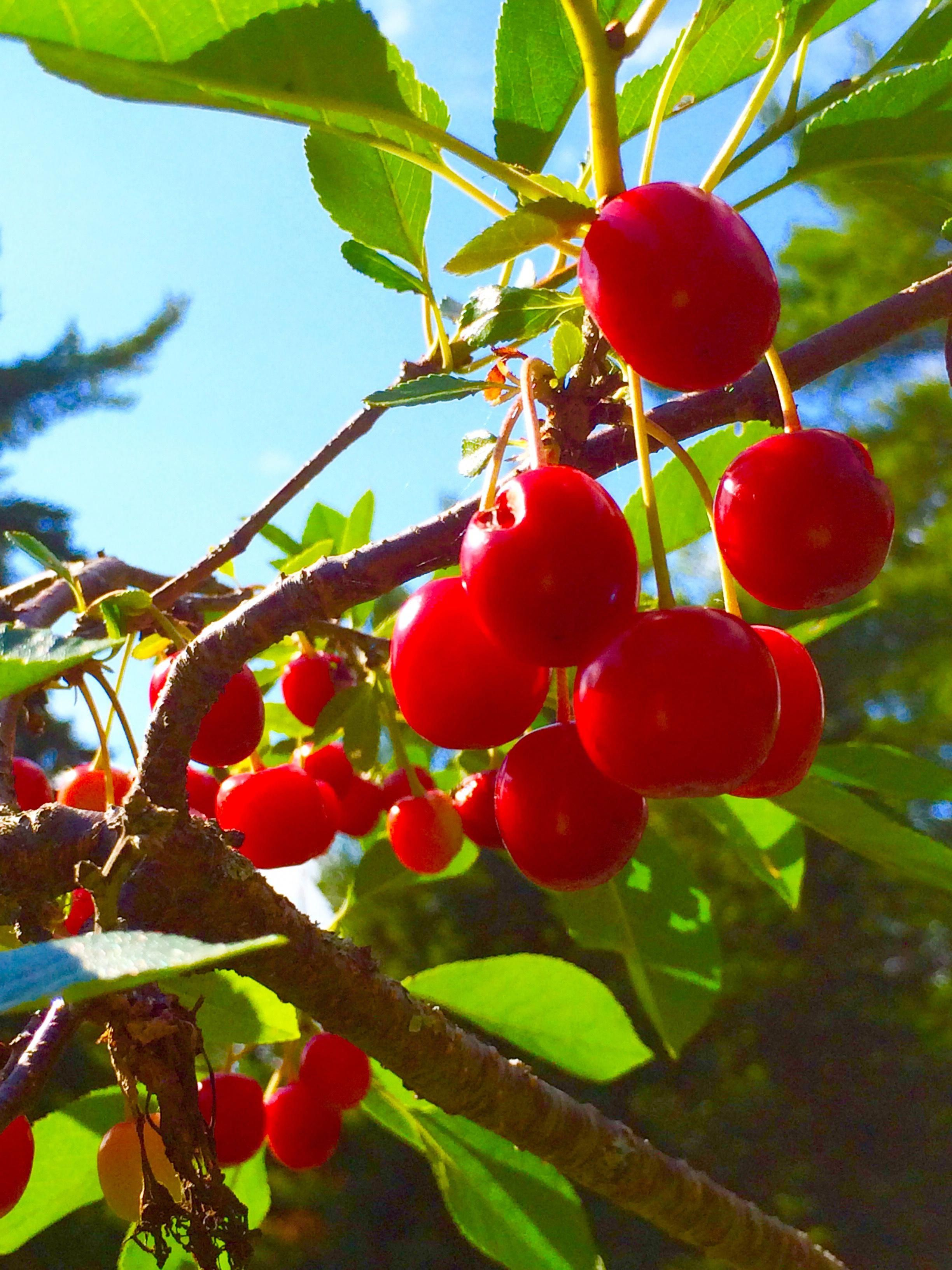Cherries Grown In Esko Mn Growinggrapesinmn Wine Making Supplies Personalized Wine Glass Wine Making Kits