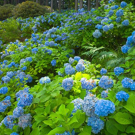 Nikko Blue Hydrangea Nikko Blue Hydrangea Fast Growing Trees Types Of Hydrangeas