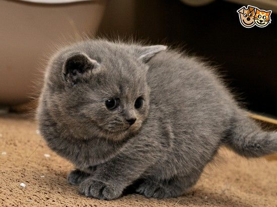 Cute British Blue Shorthair Kittens London East London Pets4homes British Shorthair British Shorthair Kittens Kittens