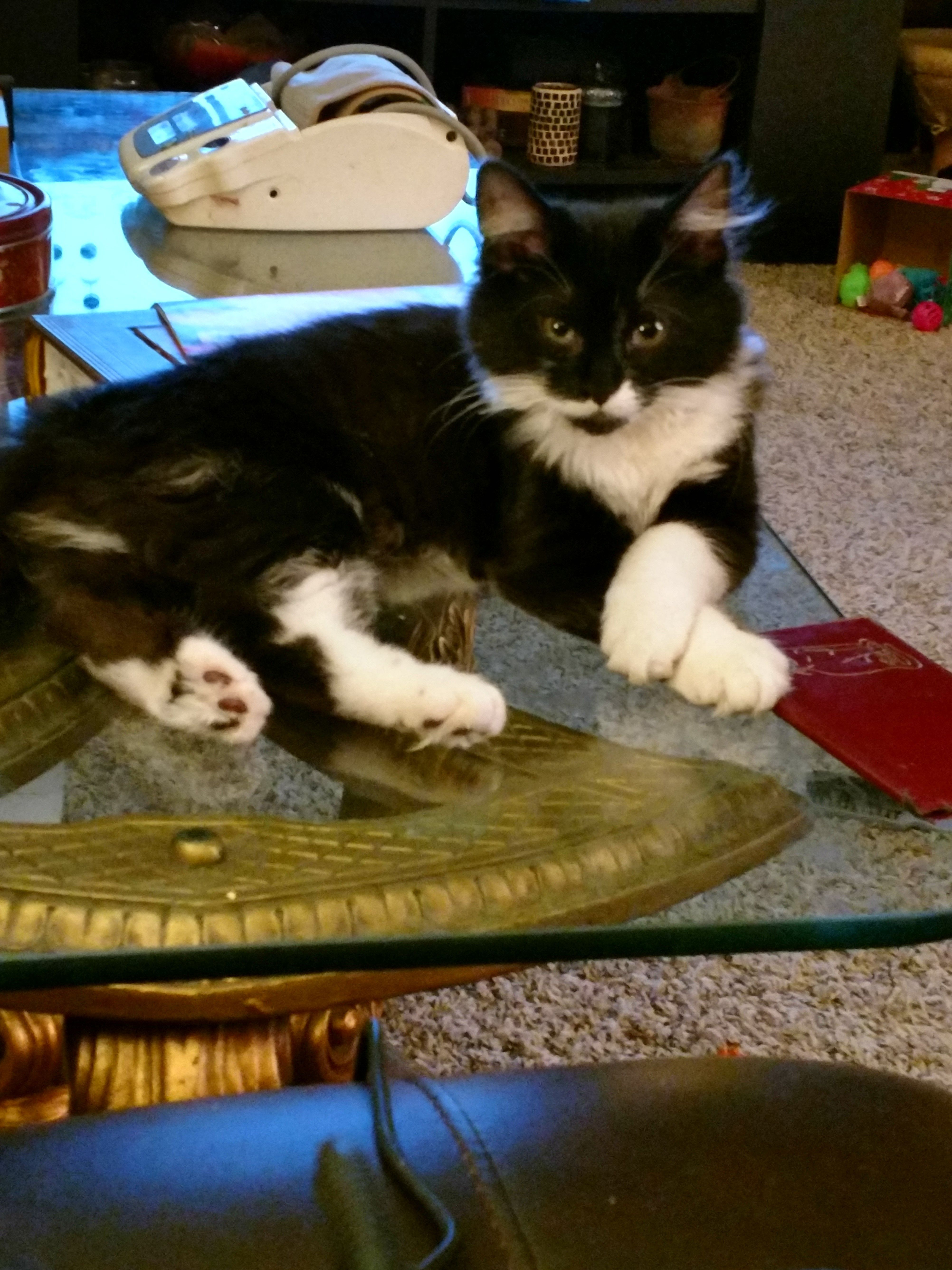 Pin on Thor, the Tuxedo Main Coon Mix Cat!