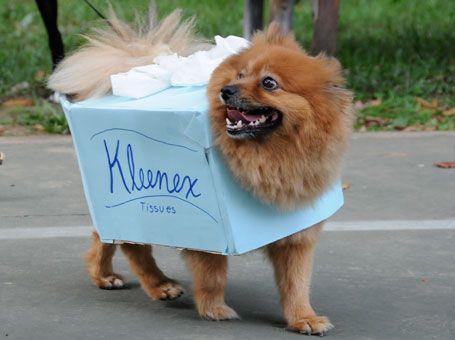 This Is Gonna Be My Bichons Next Halloween Costume Kleenex