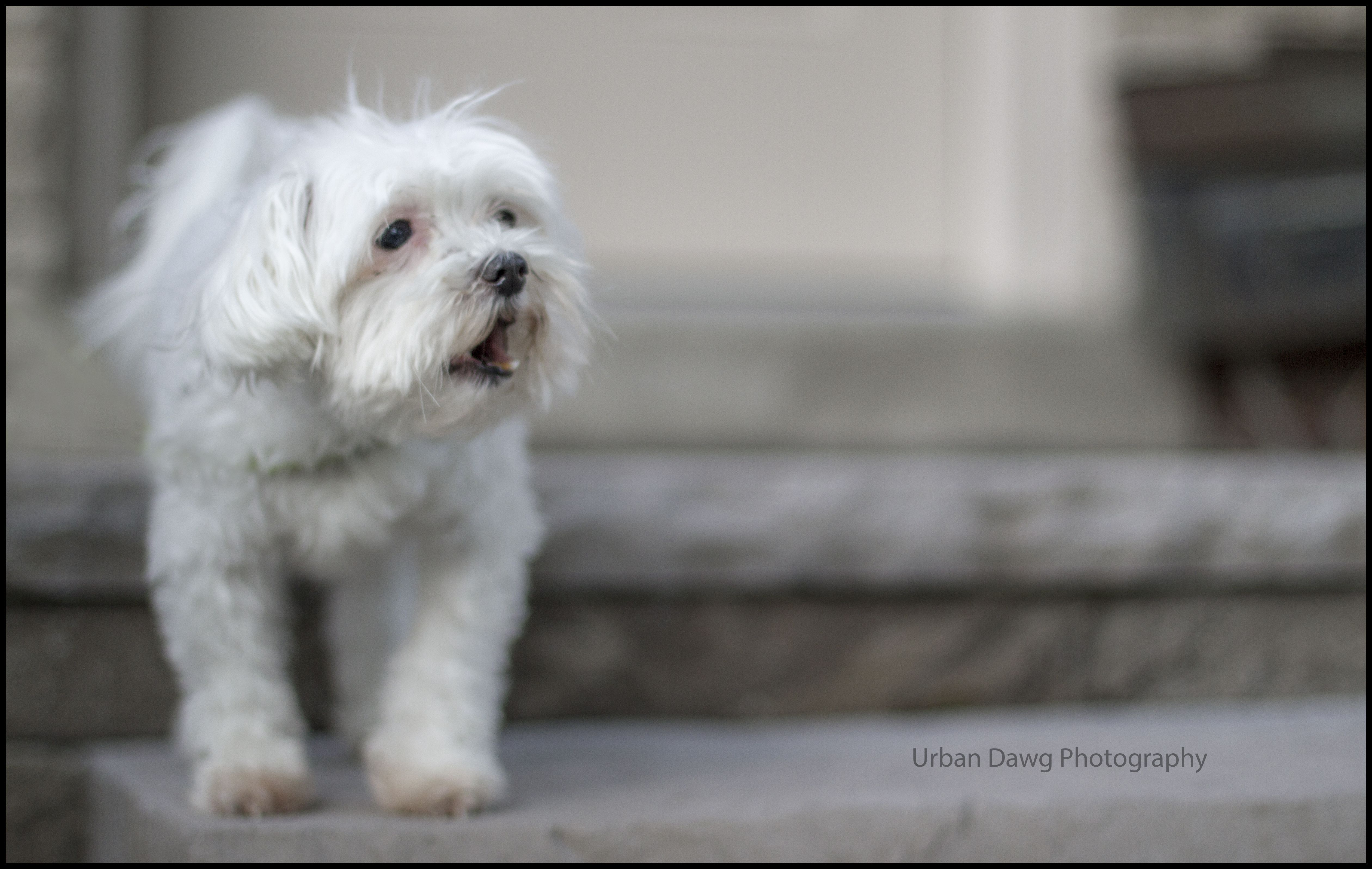 Adopted Baffi Adopted Happytailsrescue Htr Smallbreedrescue Malese Adopt Pets Pet Adoption Maltese