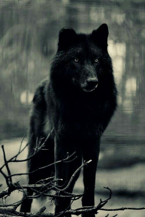 Black wolf...