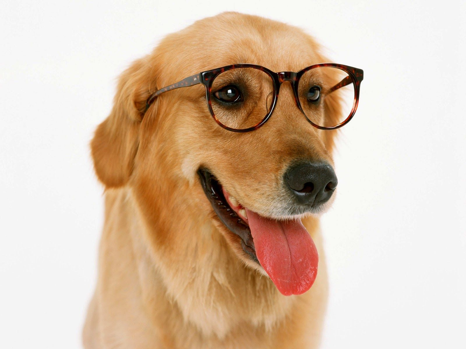 Image result for dog with glasses