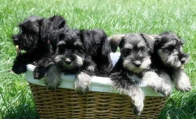 Give Me A Basket Of Schnauzers Any Day Schnauzer Puppy Miniature Schnauzer Puppies Puppies And Kitties