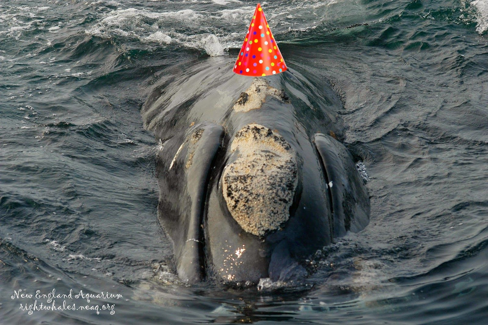 Right Whale Research Blog: Happy 20th Birthday, Shackleton!