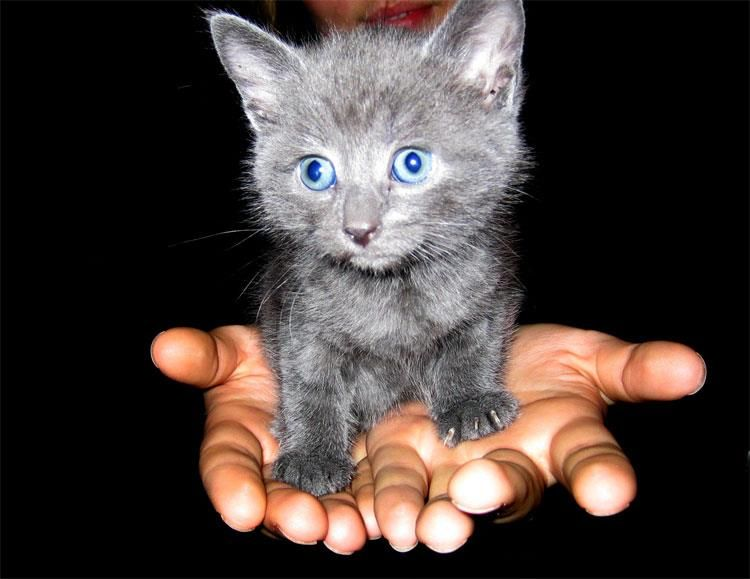 Random Animal Fact 27 All Cats Are Born With Blue Eyes Check Out Http Www Cat World Com Au Kitten Devel Cute Small Animals Grey Kitten Cat With Blue Eyes