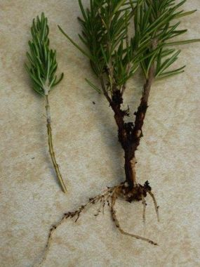 How to Make Root Cuttings.