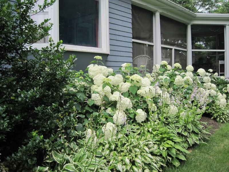 Beautiful Hedge With Annabelle Hydrangea And Hosta Yard Landscaping Front Yard Landscaping Hydrangea Landscaping
