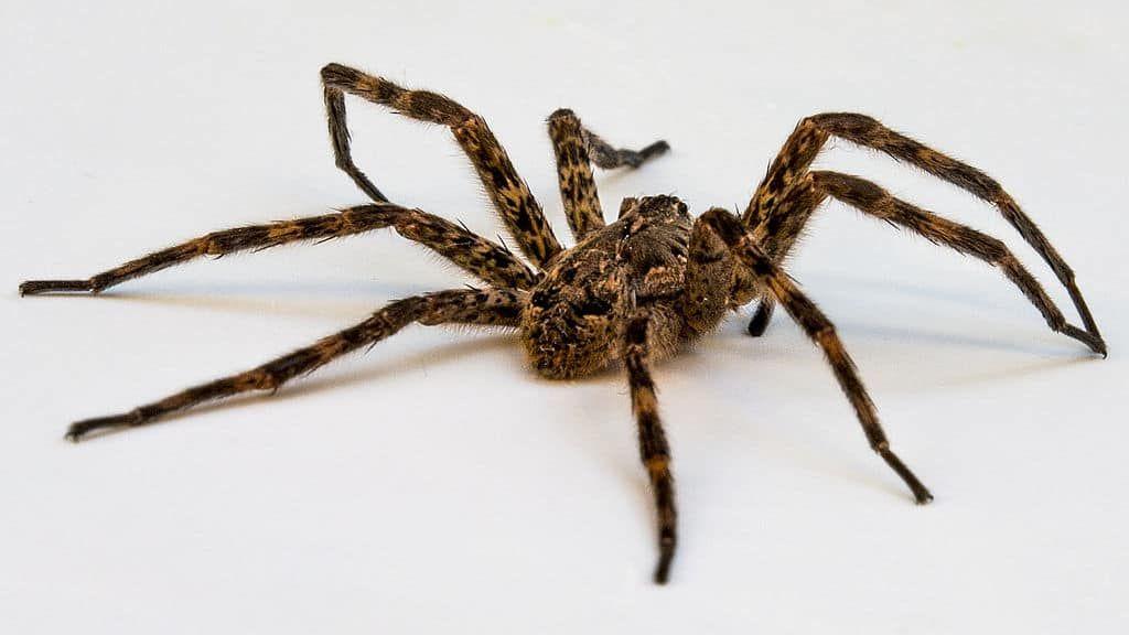 تفسير حلم العنكبوت In 2020 Wolf Spider Huge Spiders Spider