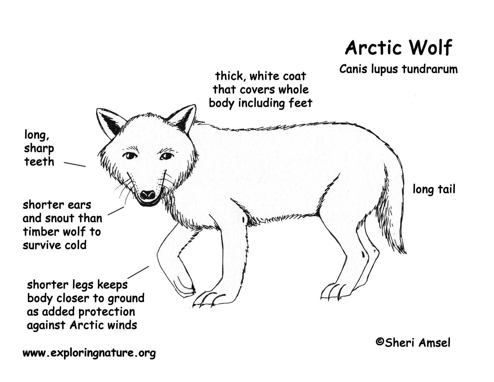 types of wolves google search wolf\u0027s wolf, types of wolves Trumpeter Swan Diagram types of wolves google search