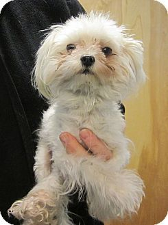 Oak Ridge Nj Maltese Meet Quinoa A Puppy For Adoption A Photo